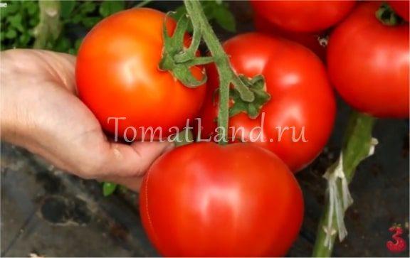 помидоры красный петух фото