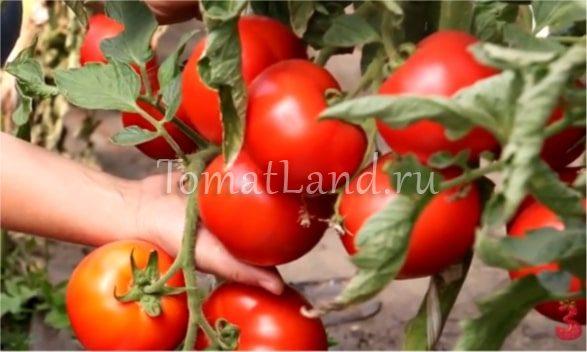 томаты красный петух фото отзывы