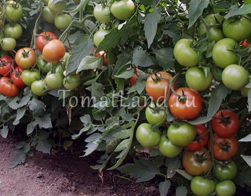 помидоры магнус фото спелых плодов