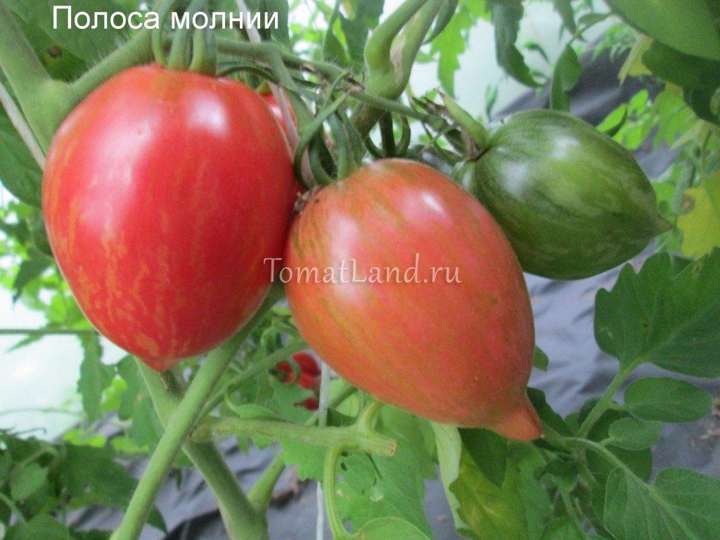 помидоры полоса молнии фото куста