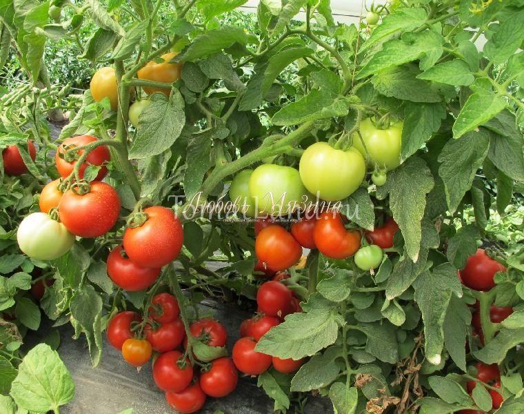 помидоры Суперприз фото куста