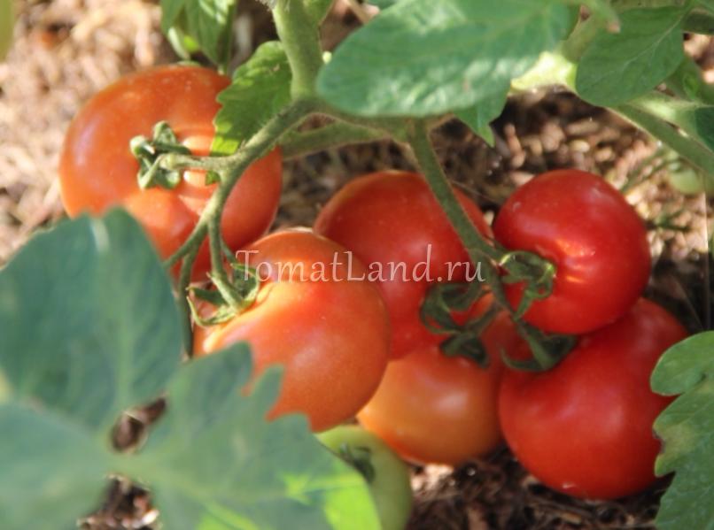 помидоры Важная персона фото