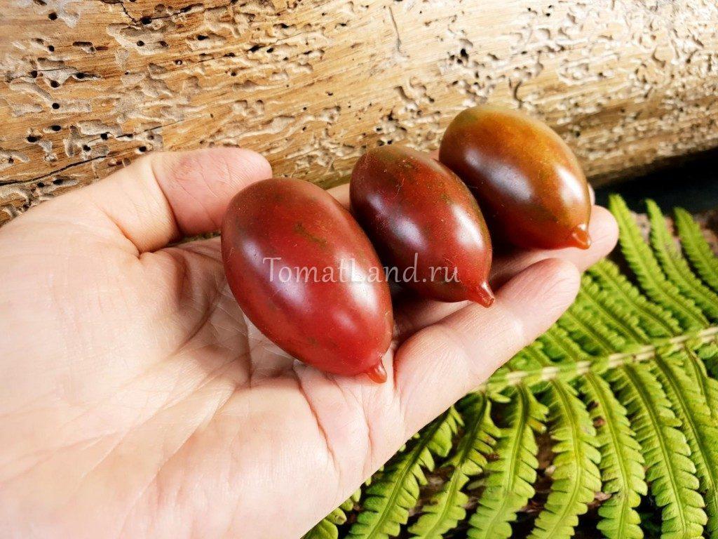 помидор зуб кабана описание сорта