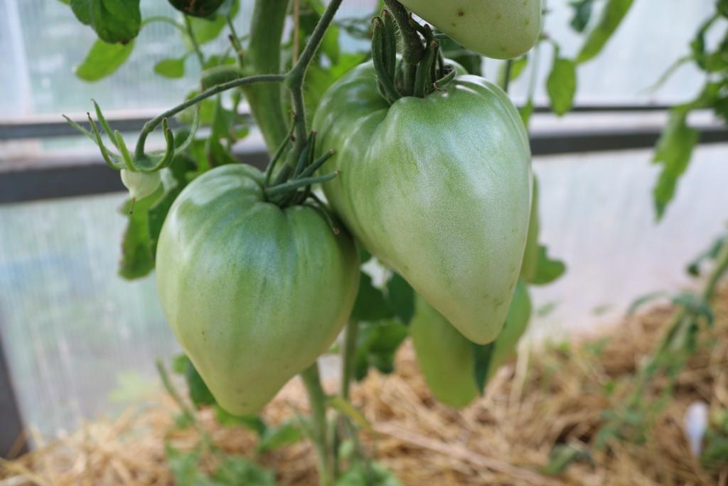 помидоры бычье сердце отзывы фото урожайность