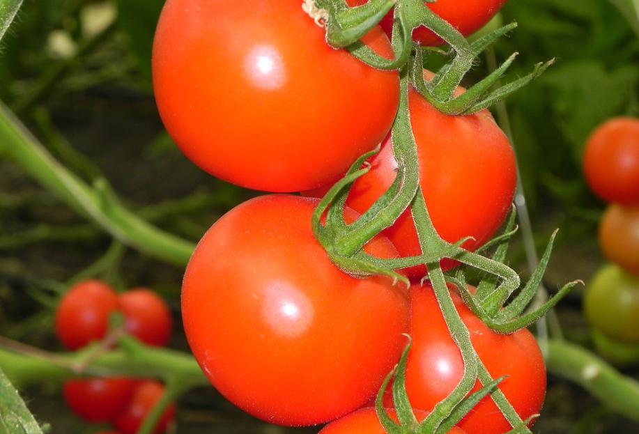 томат дирк f1 фото спелых плодов