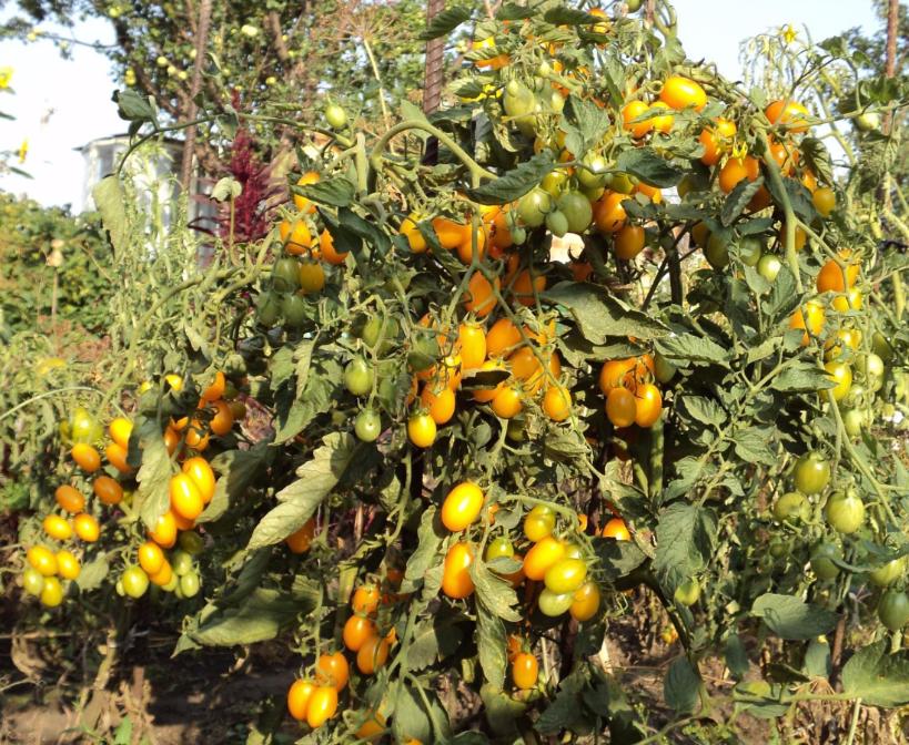 томат финик фото отзывы характеристика