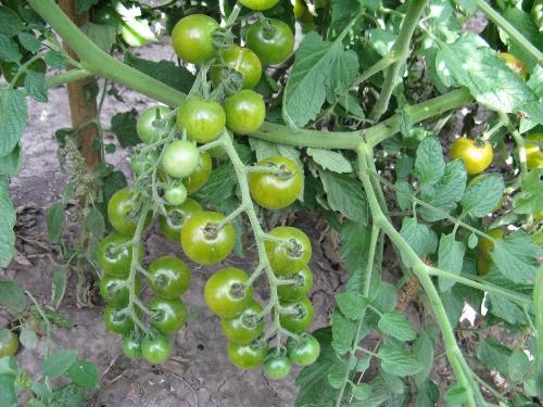 помидоры доктор грин фото