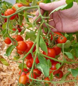 томаты ленинградский холодок отзывы фото