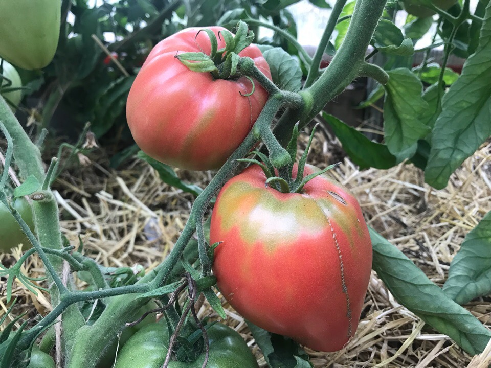 помидоры розовое сердце фото