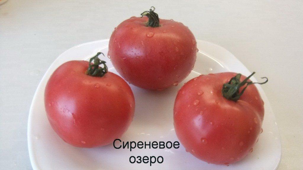 томат сиреневое озеро фото спелых плодов