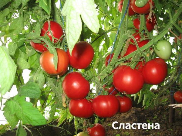 помидоры сластена фото куста
