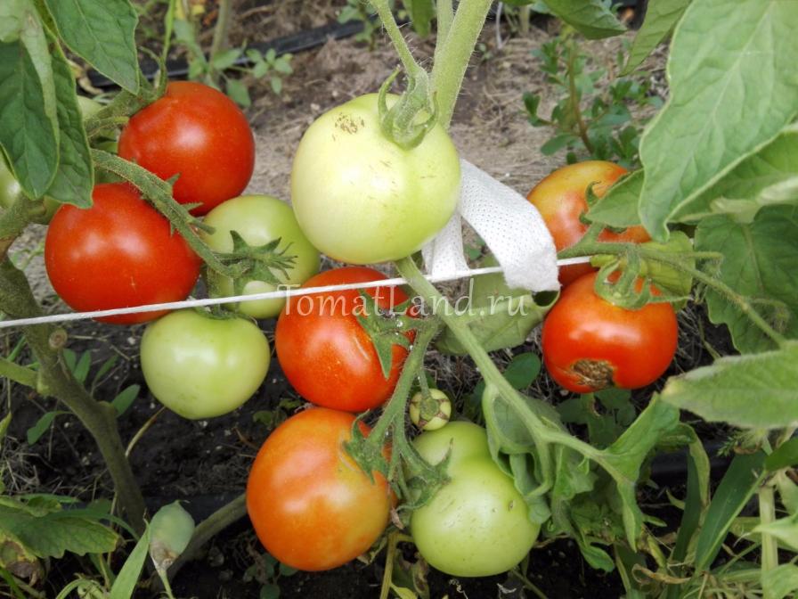 томат соседи отдыхают фото куста