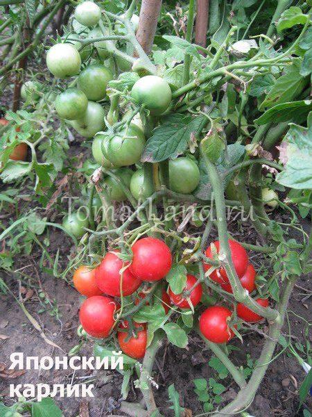 помидоры японский карлик отзывы фото