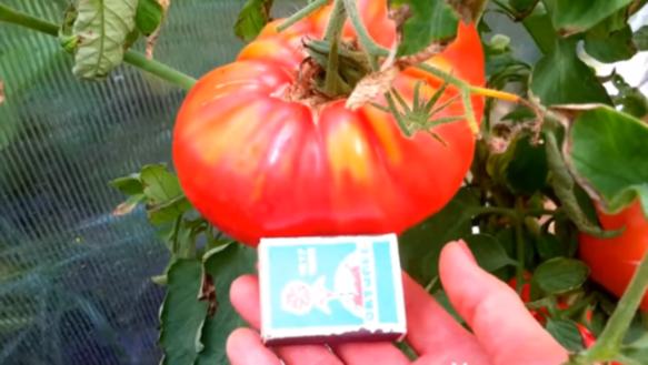 помидоры микадо розовый