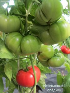 томат итальянский сладкий канада