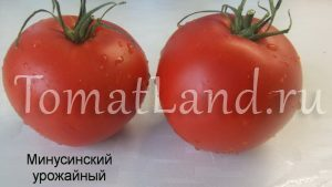помидоры минусинские урожайные