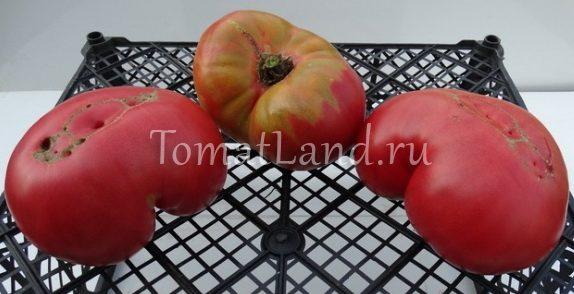 томаты Бой Бой фото