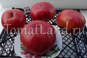 томаты бабушкина радость фото