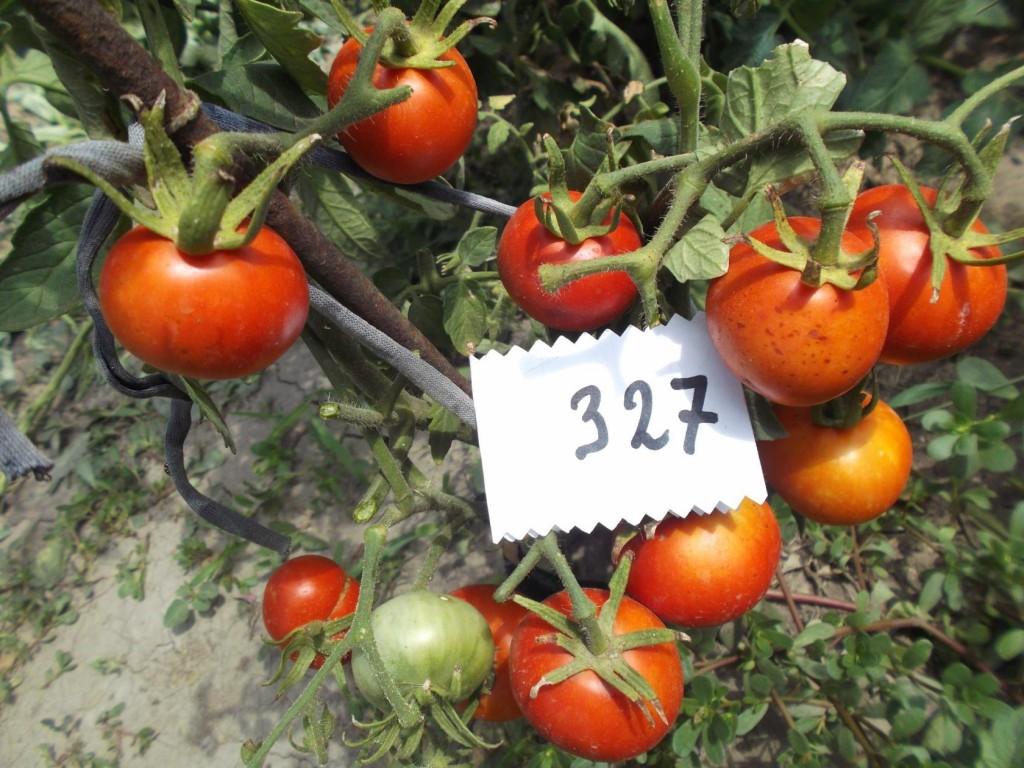 томаты беталюкс фото на кусте