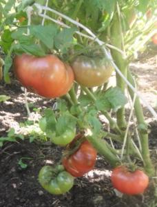 томаты борония фото