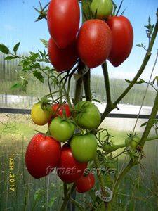 томат гигант зибенбургена фото