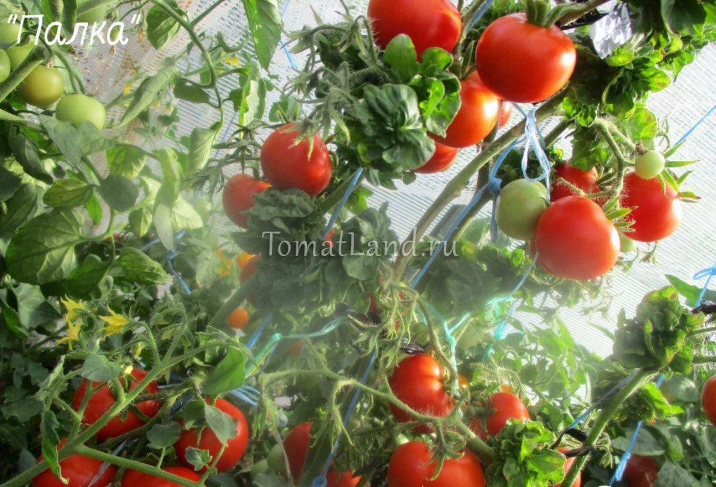 помидор палка фото
