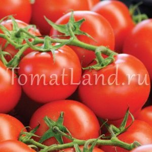 помидоры мечта лентяя фото