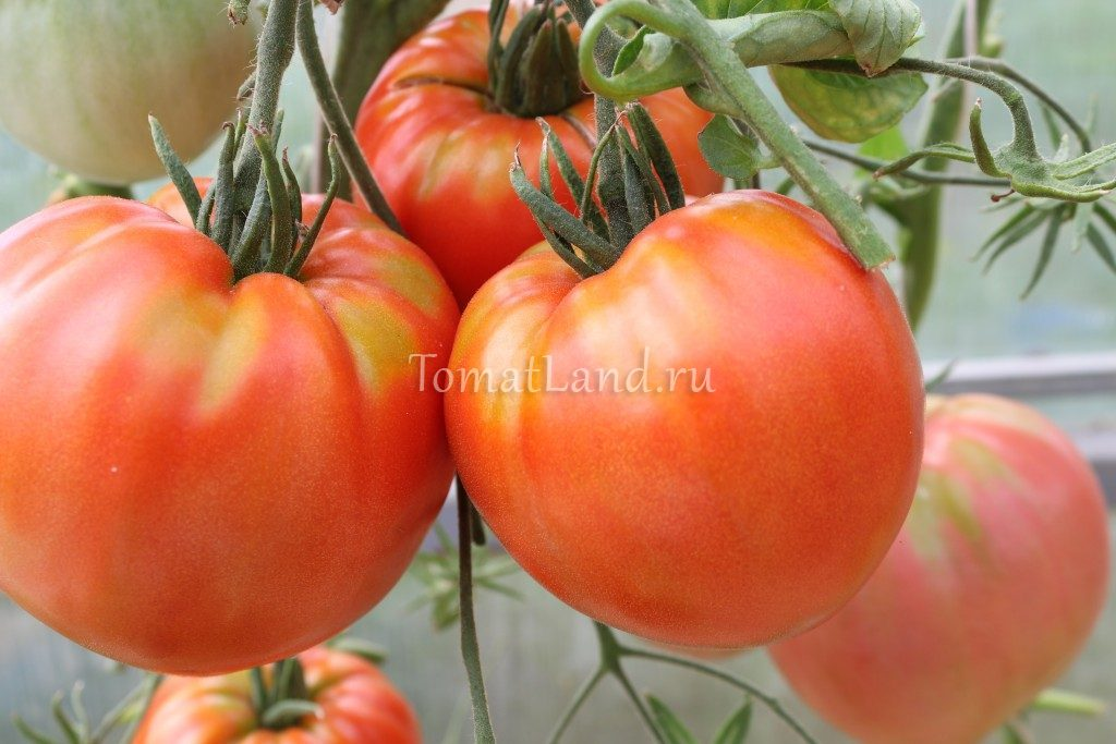 помидоры Кинг Конг фото