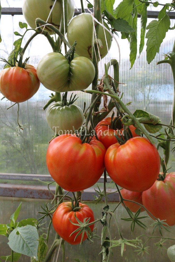подкормки для рассады помидоров и перца