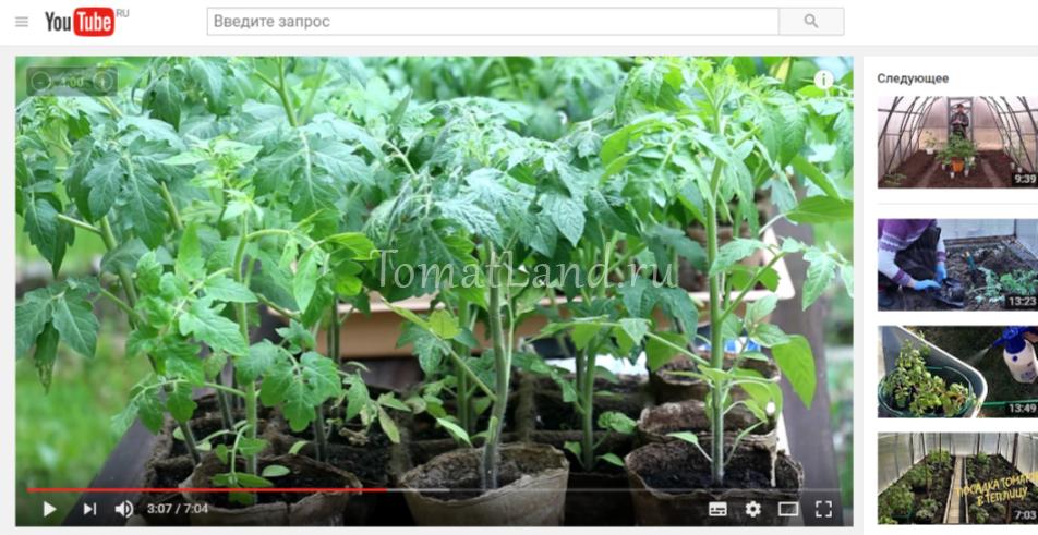 видео о томатах