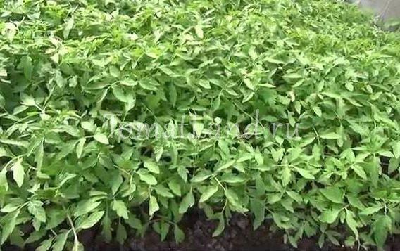 Посев и выращивание рассады помидоров в парнике