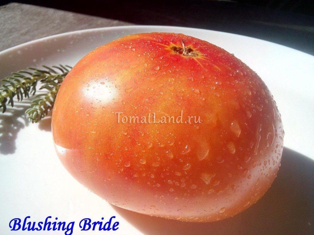 томат застенчивая невеста фото отзывы
