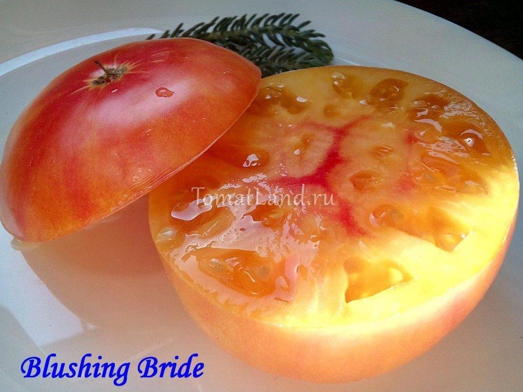 помидор застенчивая невеста