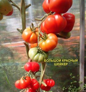 томат большой красный шейкера