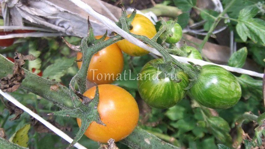томат шмель на заре фото