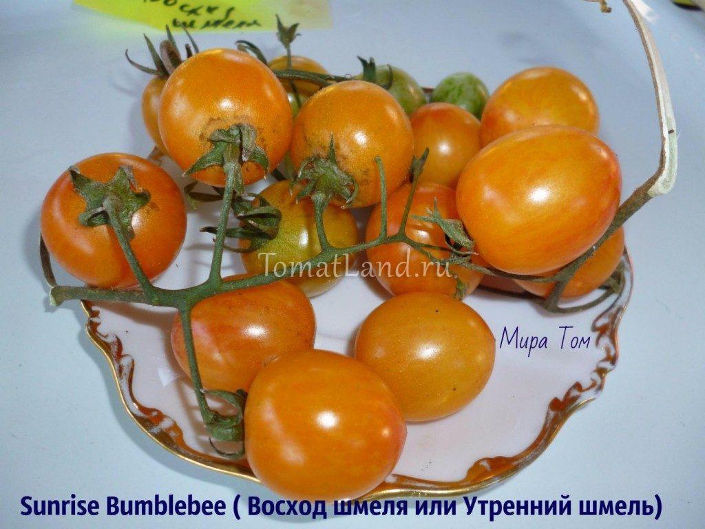 помидоры Восход шмеля