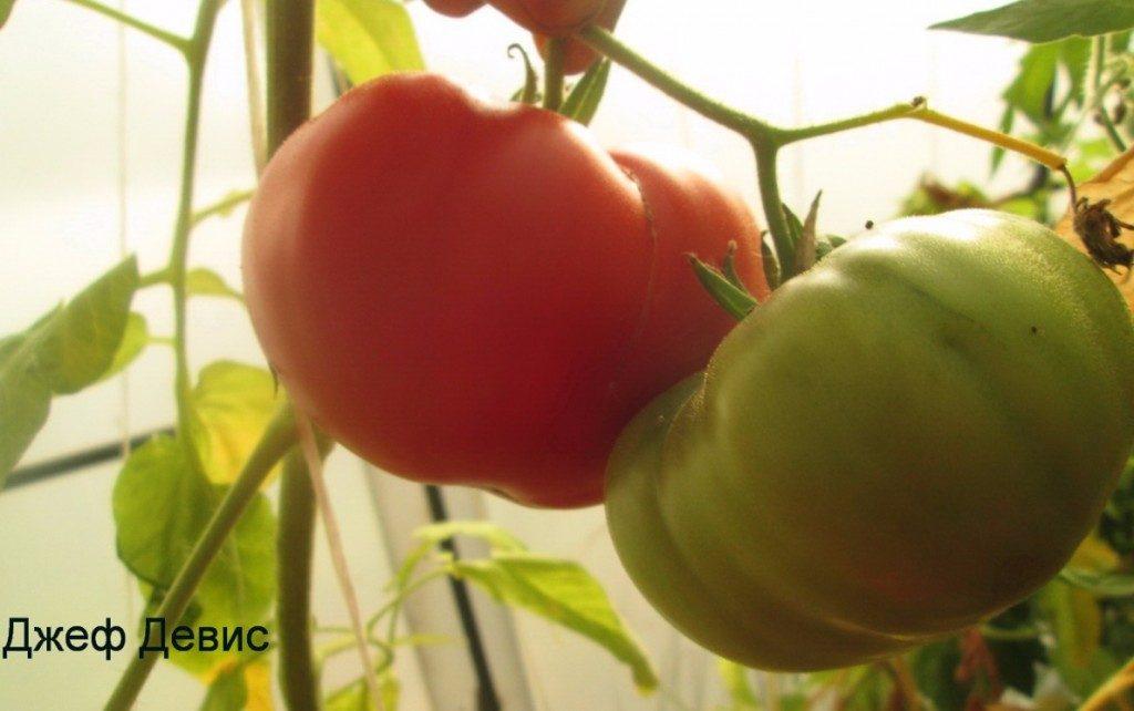 томаты Джефф Девис фото плодов