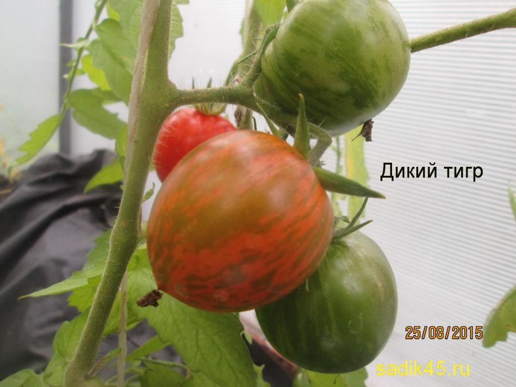 помидоры Дикий тигр фото