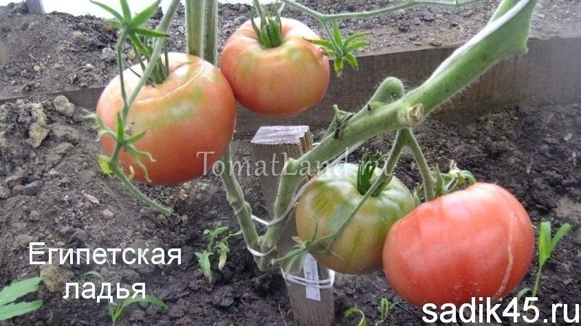 томат египетская ладья