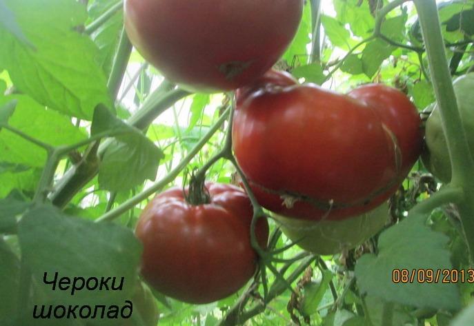 помидоры Чероки шоколад фото отзывы