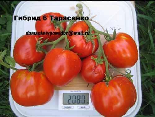 томата гибрид 6 тарасенко