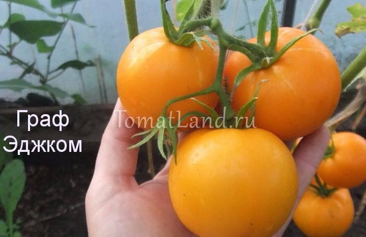 помидоры Граф из Эджкомб фото