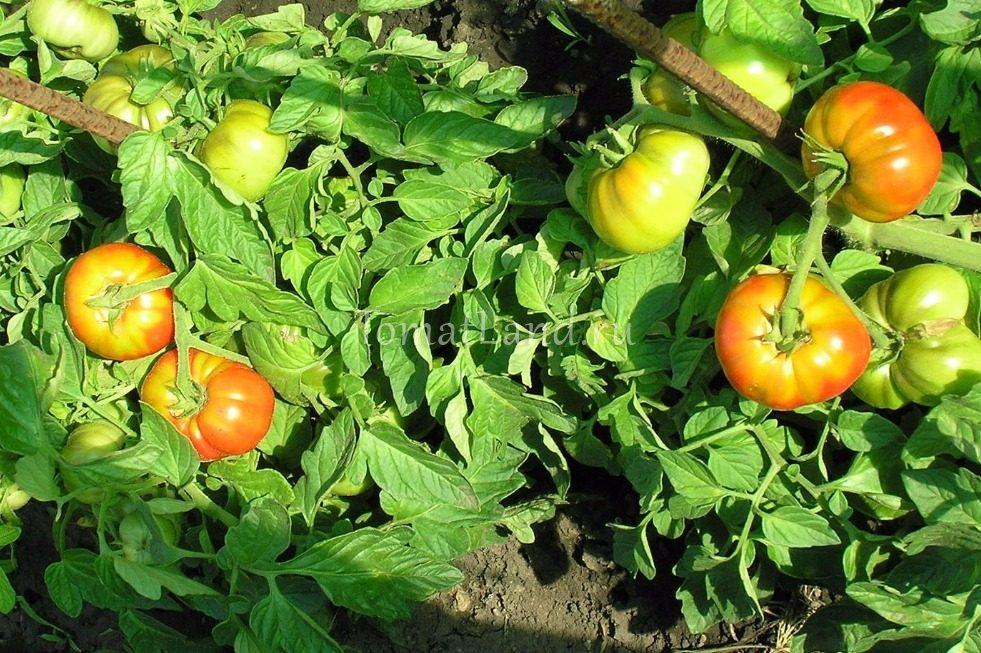 томат конфетка без косточки фото