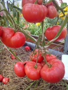 помидоры Румяные фото