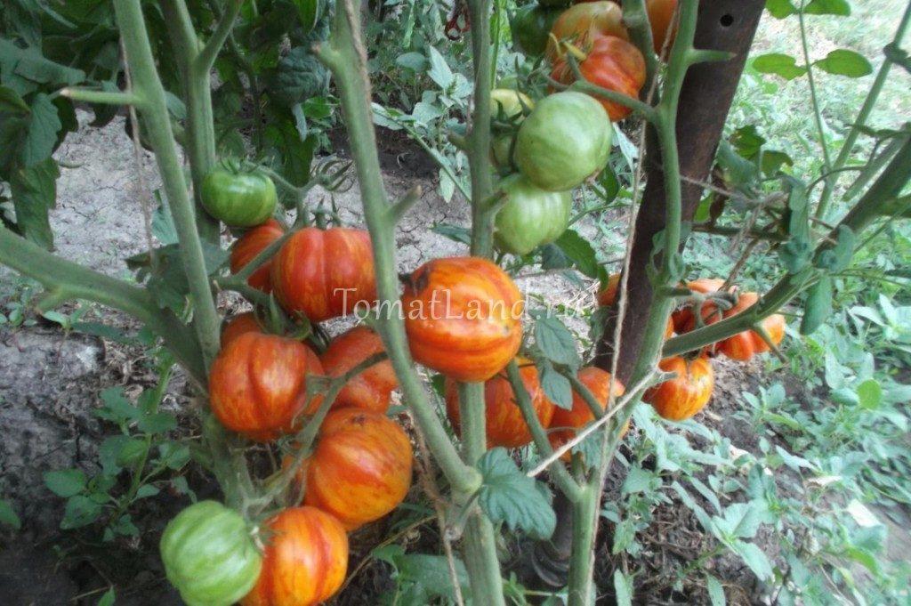 томаты страйпет стаффер фото