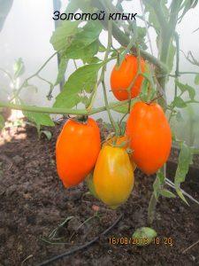 томат золотой клык фото