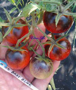 томаты голубая крошка