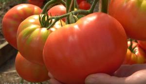 помидоры Гордость застолья фото спелых плодов
