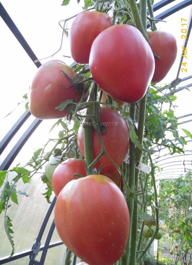 томаты чудо фото на кусте