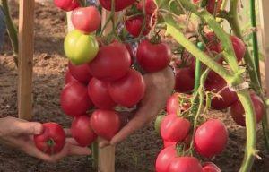 помидоры малиновая империя фото